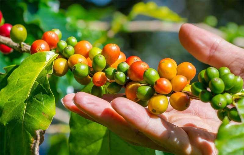 daerah penghasil kopi luwak indonesia
