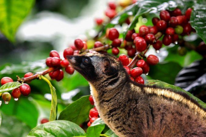 mengenal kopi luwak