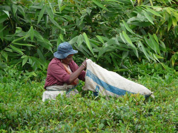 negara penghasil teh - india
