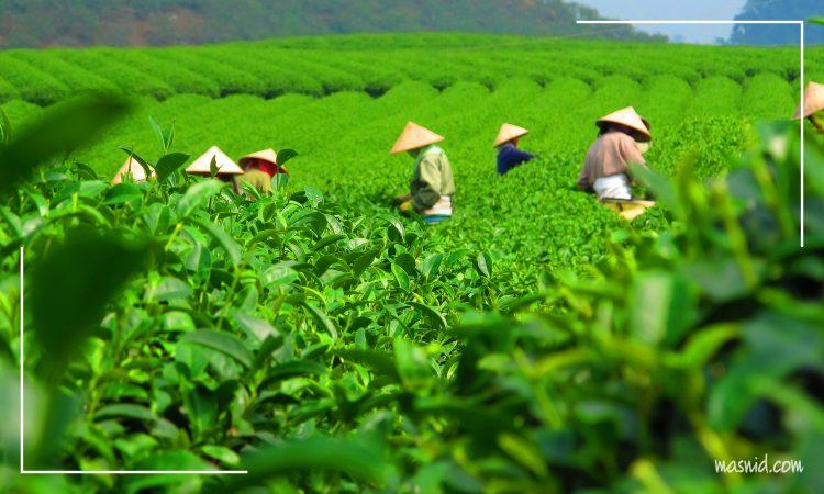 negara penghasil teh