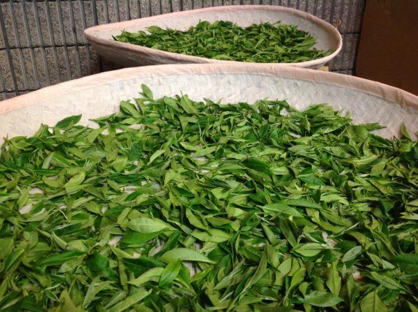 proses pembuatan teh - oksidasi